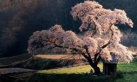 Cherry Tree Shrine, Japan